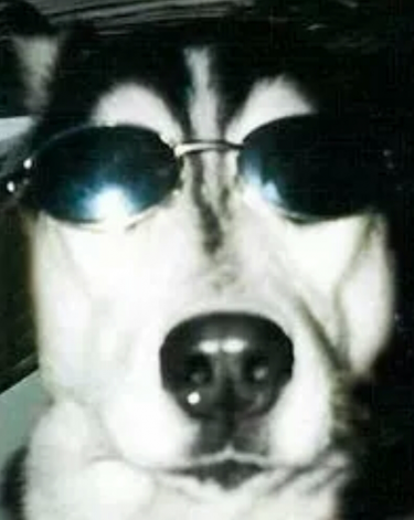 husky wears sunglasses