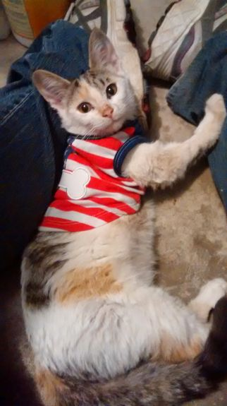 Cat in stars and stripes shirt