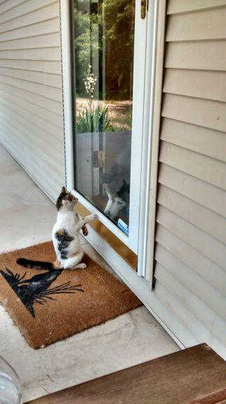 Smore looking inside door at husky